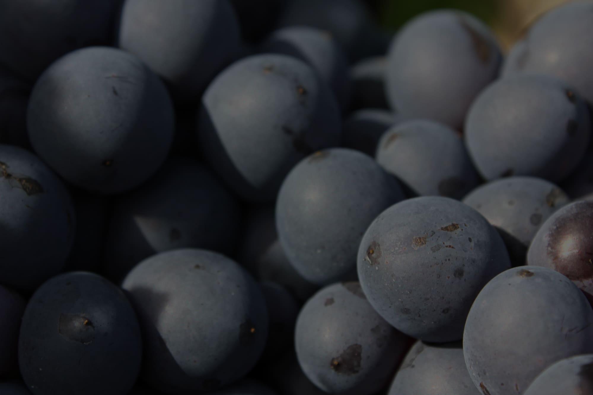 Photographie en gros plan de raisins